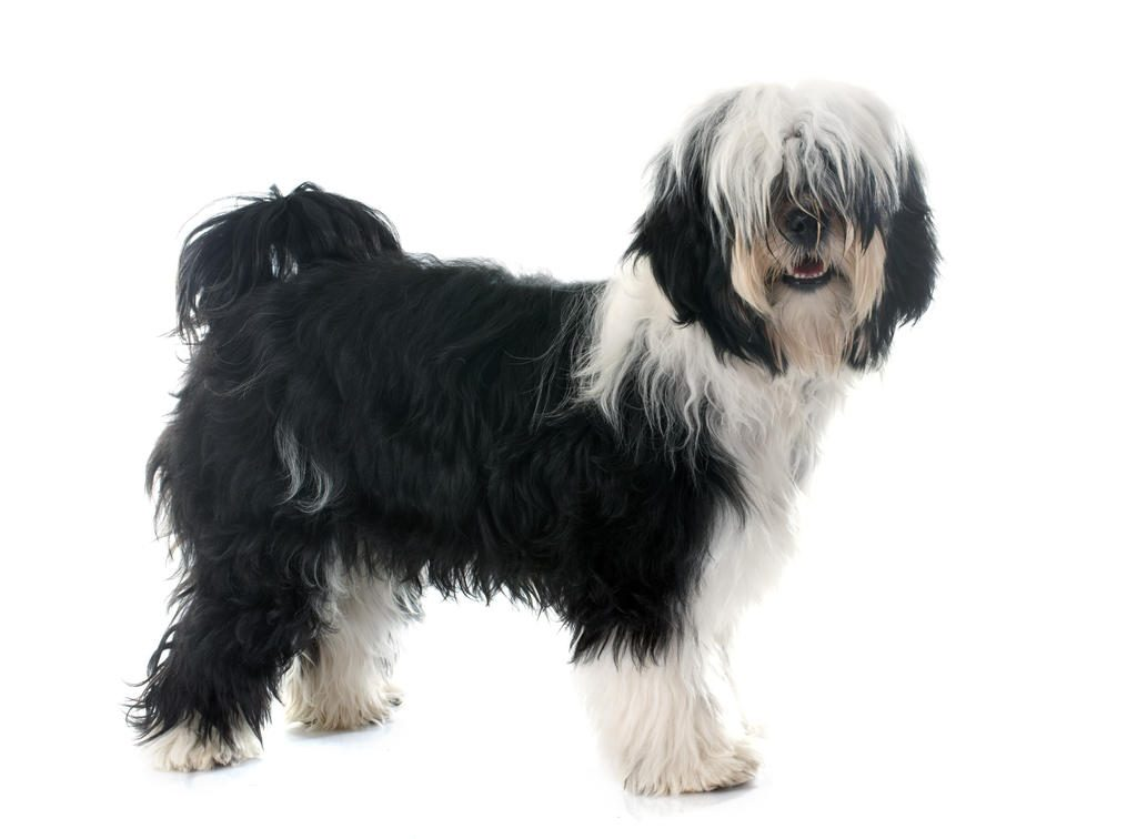 Dog-Tibetan_Terrier-A_Tibetan_Terrier_with_a_black_and_white_coat,_showing_off_it's_long_fringe_and_bushy_tail