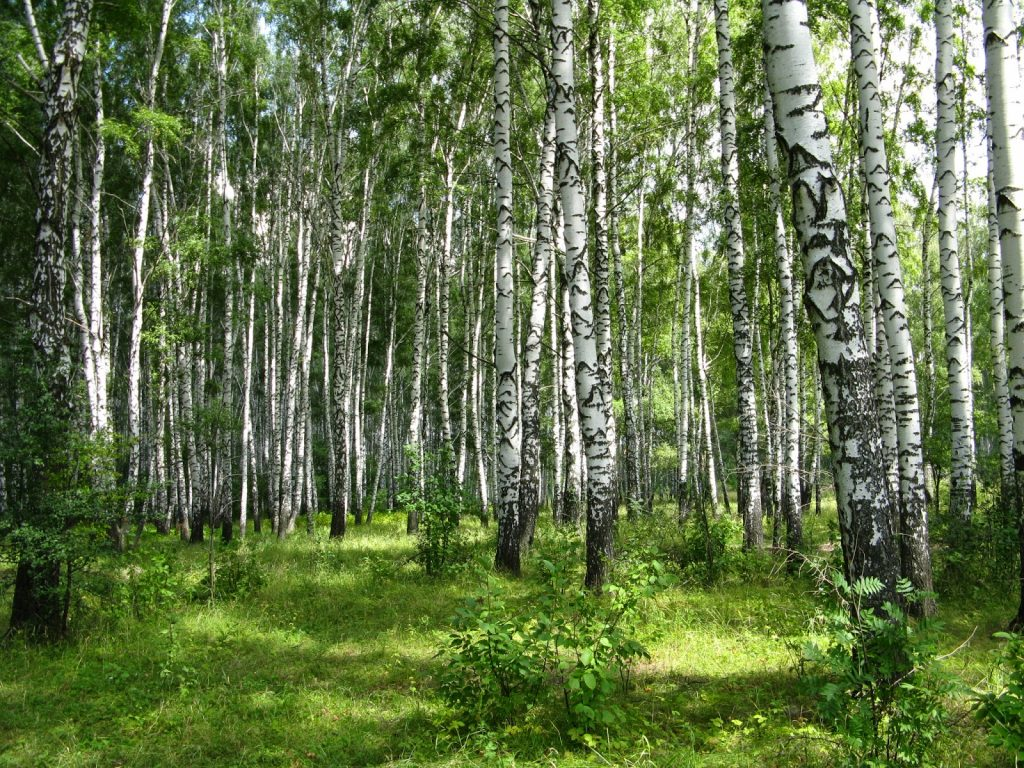 Benefits Of Birch Tree For Health (1)